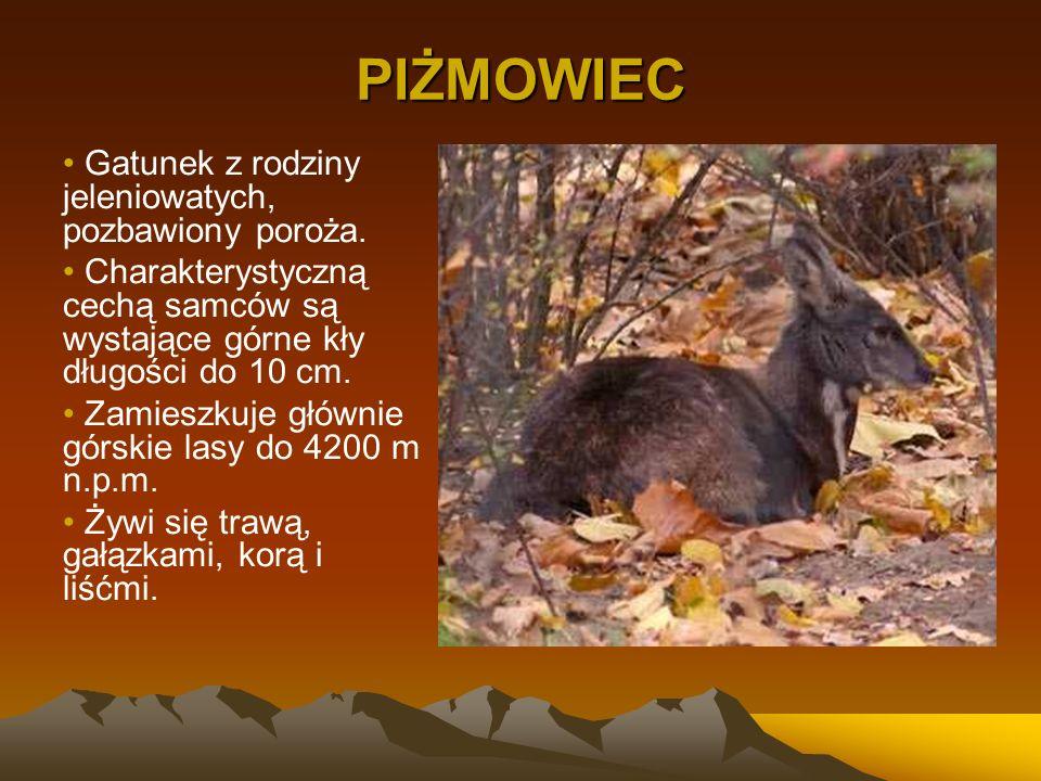 PIŻMOWIEC Gatunek z rodziny jeleniowatych, pozbawiony poroża.