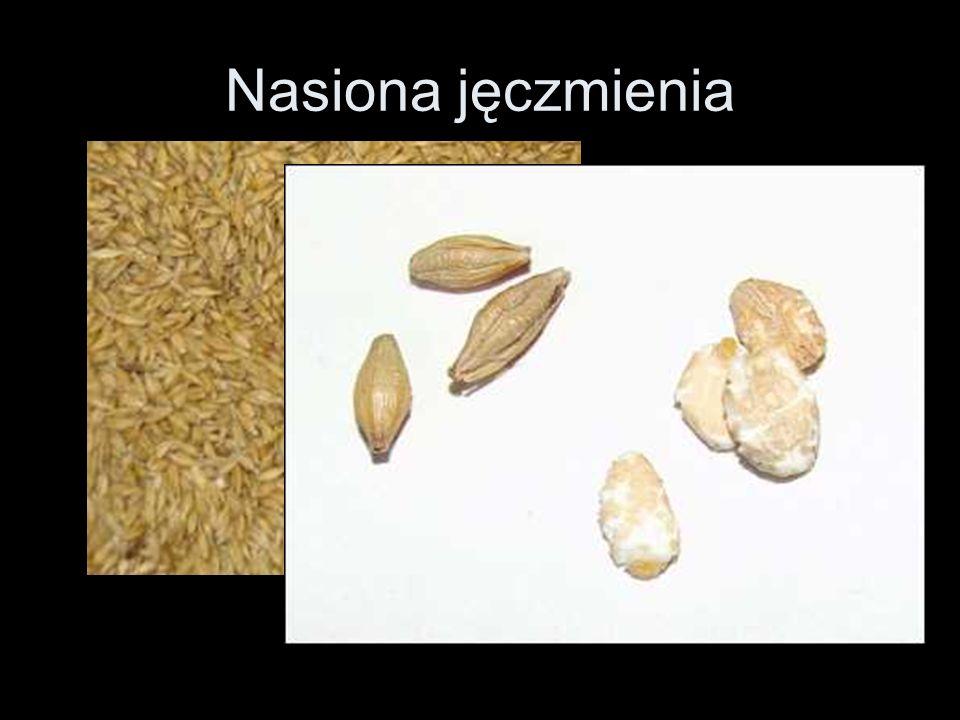 Nasiona jęczmienia