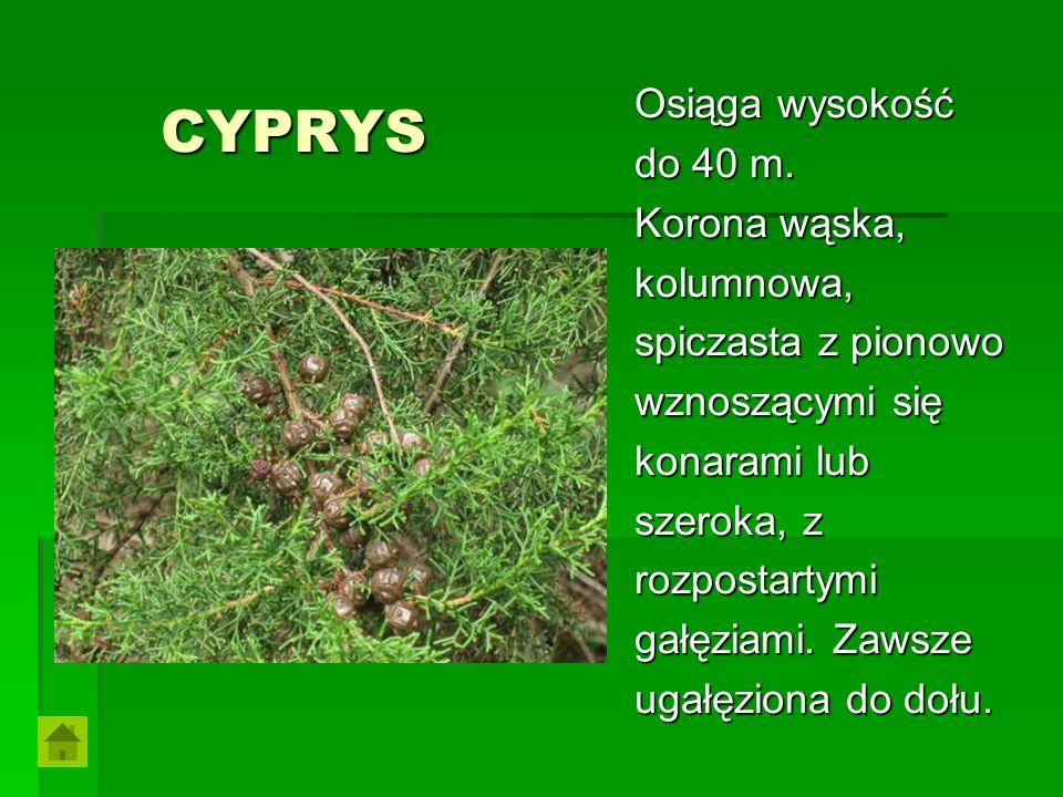 CYPRYS Osiąga wysokość do 40 m. Korona wąska, kolumnowa,