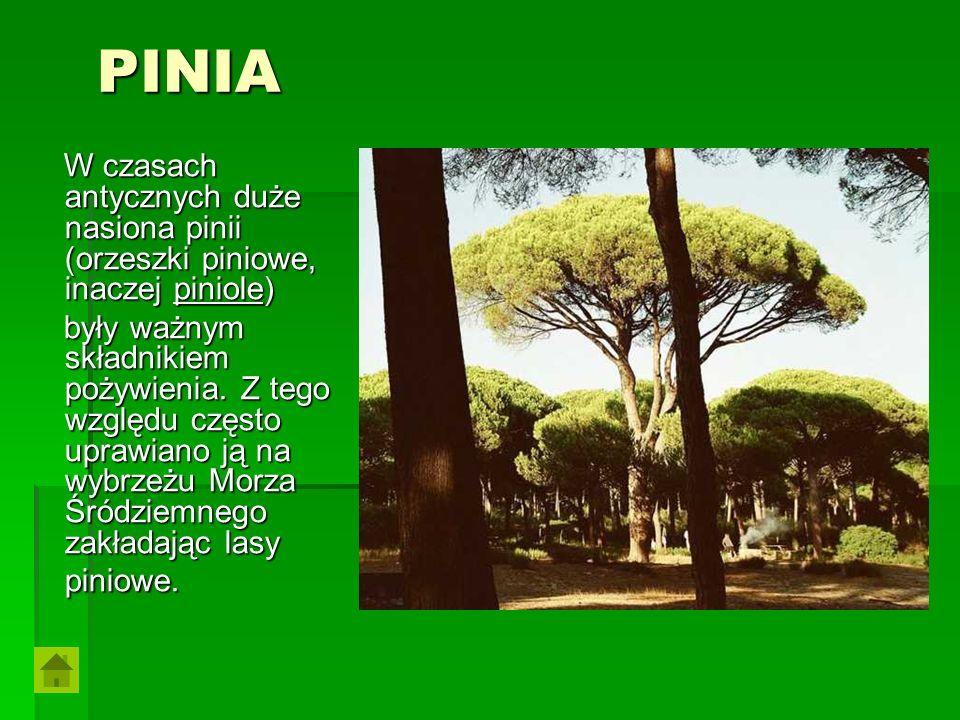 PINIA W czasach antycznych duże nasiona pinii (orzeszki piniowe, inaczej piniole)
