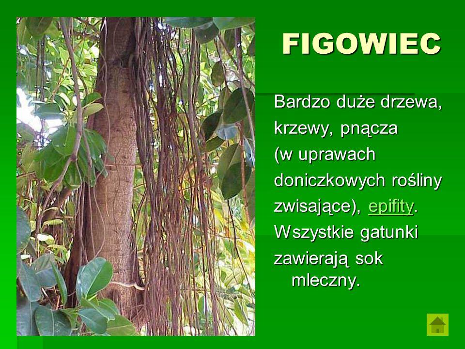 FIGOWIEC Bardzo duże drzewa, krzewy, pnącza (w uprawach