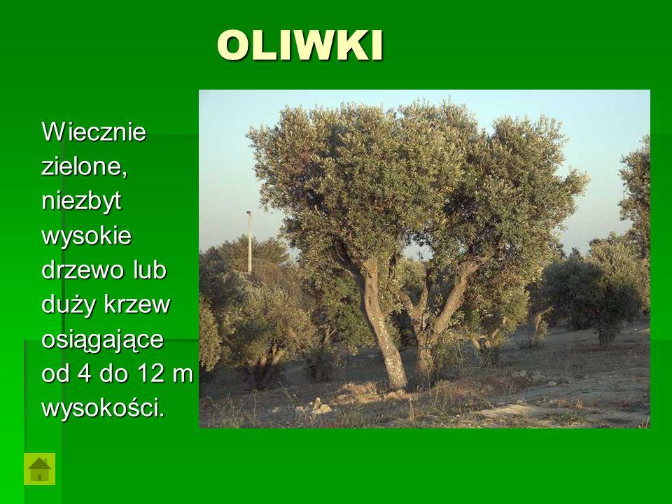 OLIWKI Wiecznie zielone, niezbyt wysokie drzewo lub duży krzew