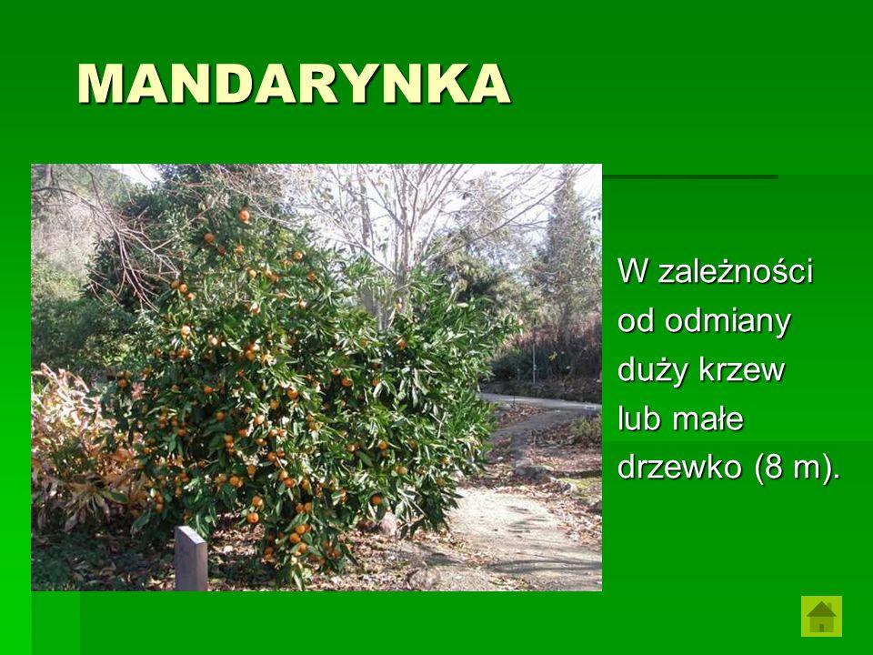 MANDARYNKA W zależności od odmiany duży krzew lub małe drzewko (8 m).