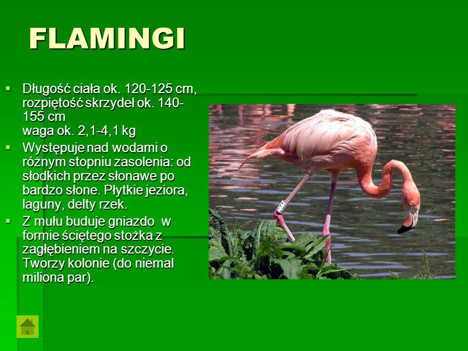 FLAMINGI Długość ciała ok. 120-125 cm, rozpiętość skrzydeł ok. 140-155 cm waga ok. 2,1-4,1 kg.