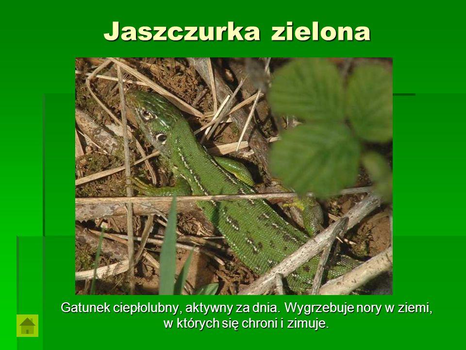 Jaszczurka zielona Gatunek ciepłolubny, aktywny za dnia.