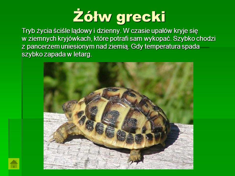 Żółw grecki Tryb życia ściśle lądowy i dzienny. W czasie upałów kryje się. w ziemnych kryjówkach, które potrafi sam wykopać. Szybko chodzi.