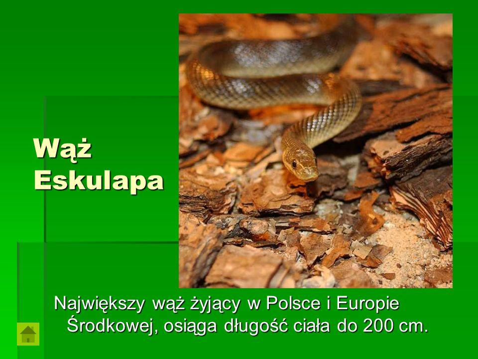 Wąż Eskulapa Największy wąż żyjący w Polsce i Europie Środkowej, osiąga długość ciała do 200 cm.