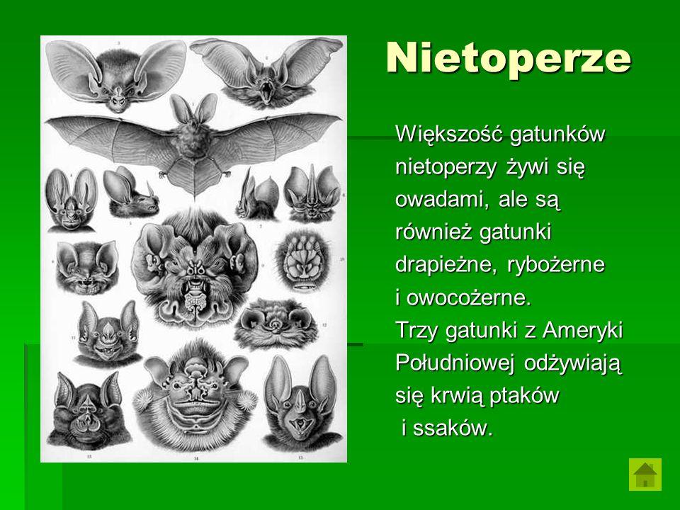 Nietoperze Większość gatunków nietoperzy żywi się owadami, ale są