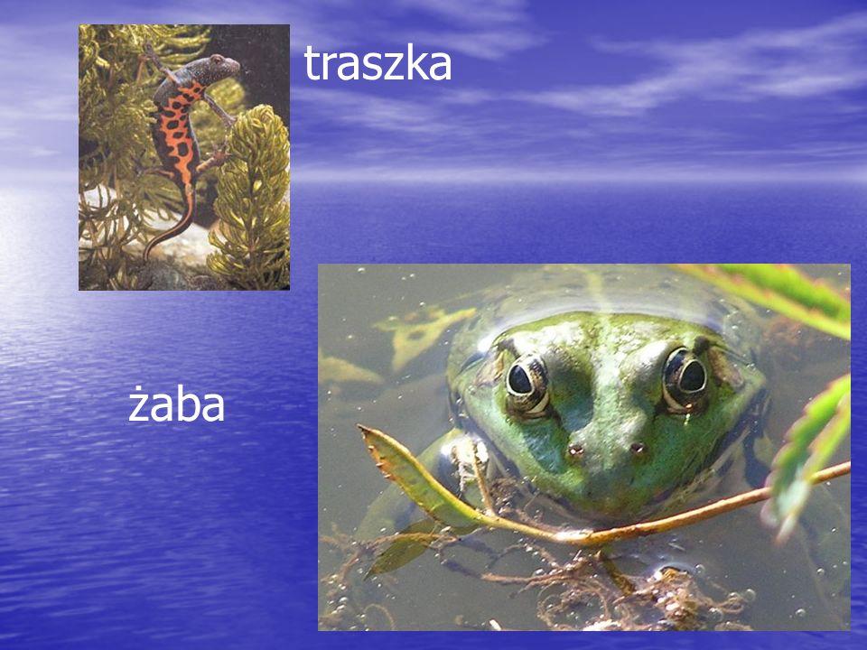 traszka żaba
