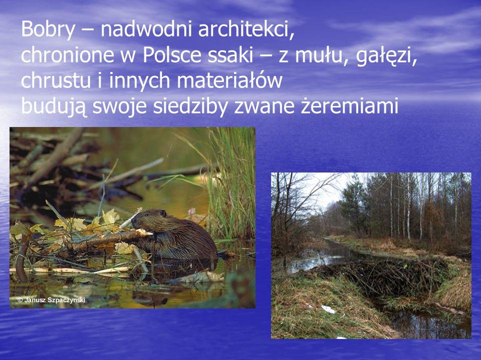 Bobry – nadwodni architekci,