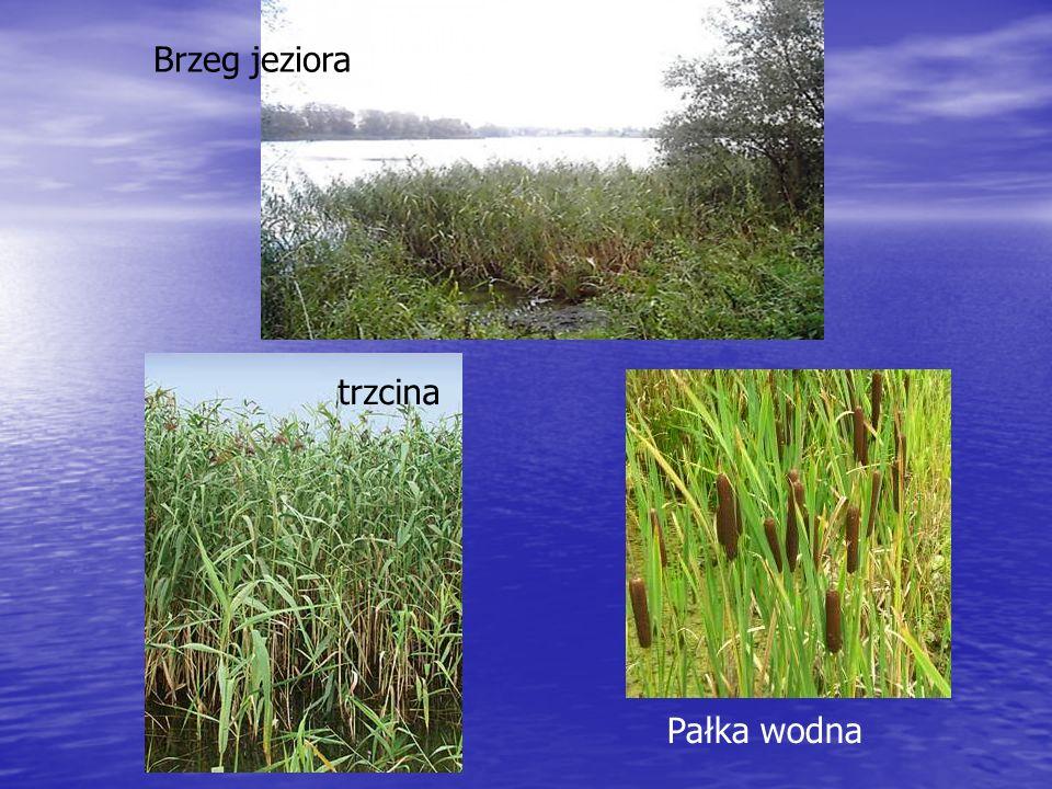 Brzeg jeziora jeziora trzcina Pałka wodna