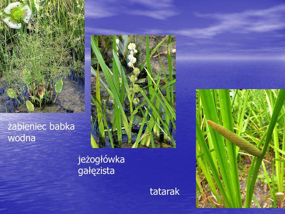 żabieniec babka wodna jeżogłówka gałęzista tatarak