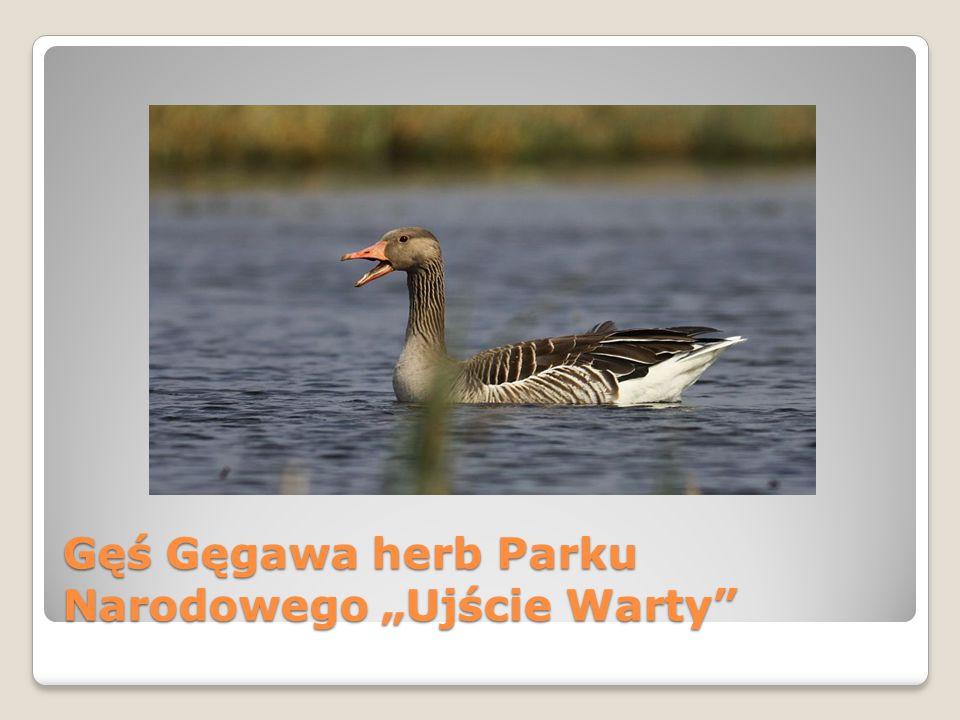"""Gęś Gęgawa herb Parku Narodowego """"Ujście Warty"""