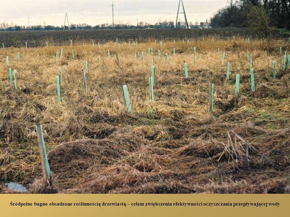 Śródpolne bagno obsadzone roślinnością drzewiastą – celem zwiększenia efektywności oczyszczania przepływającej wody