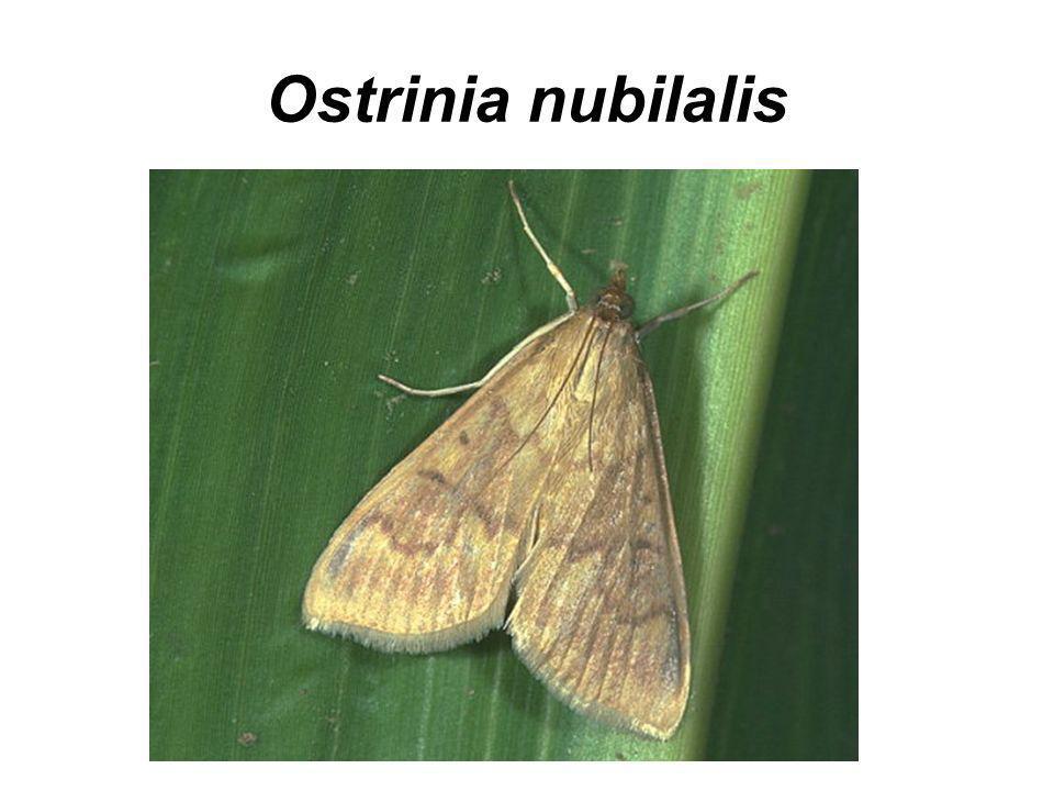 Ostrinia nubilalis Omacnica prosowianka poważny szkodnik kukurydzy, może spowodować nawet 40% straty w plonach.