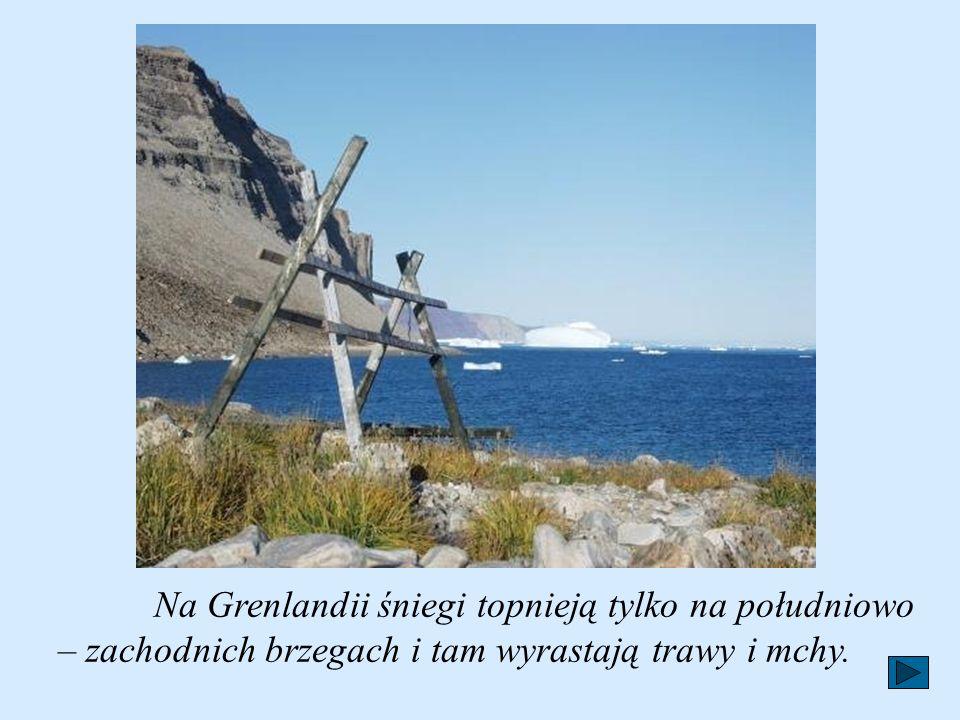 Na Grenlandii śniegi topnieją tylko na południowo – zachodnich brzegach i tam wyrastają trawy i mchy.