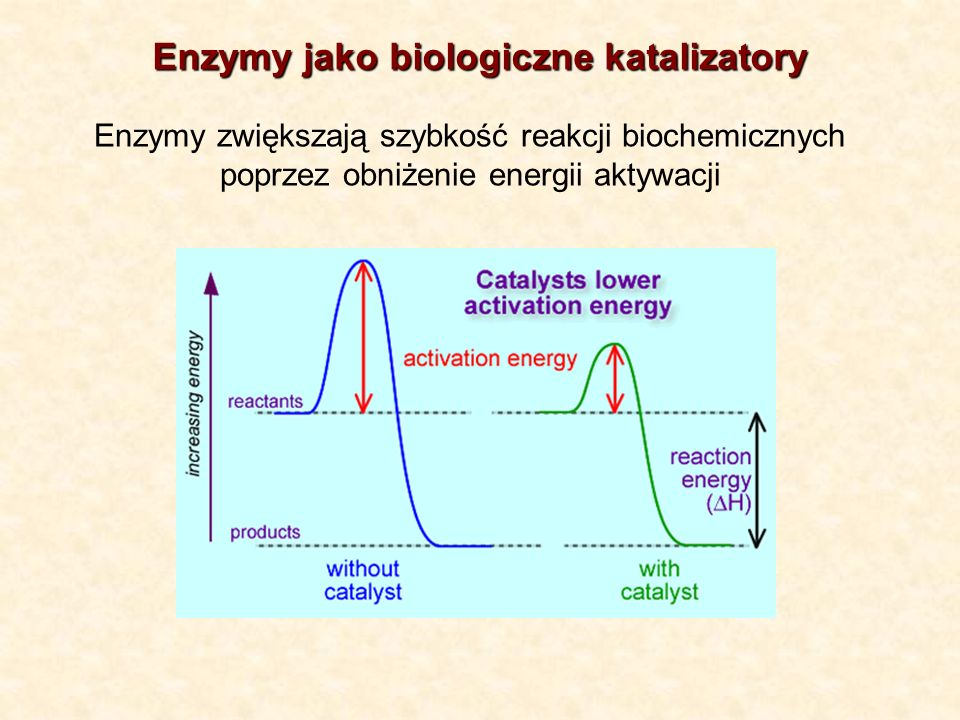 Enzymy jako biologiczne katalizatory