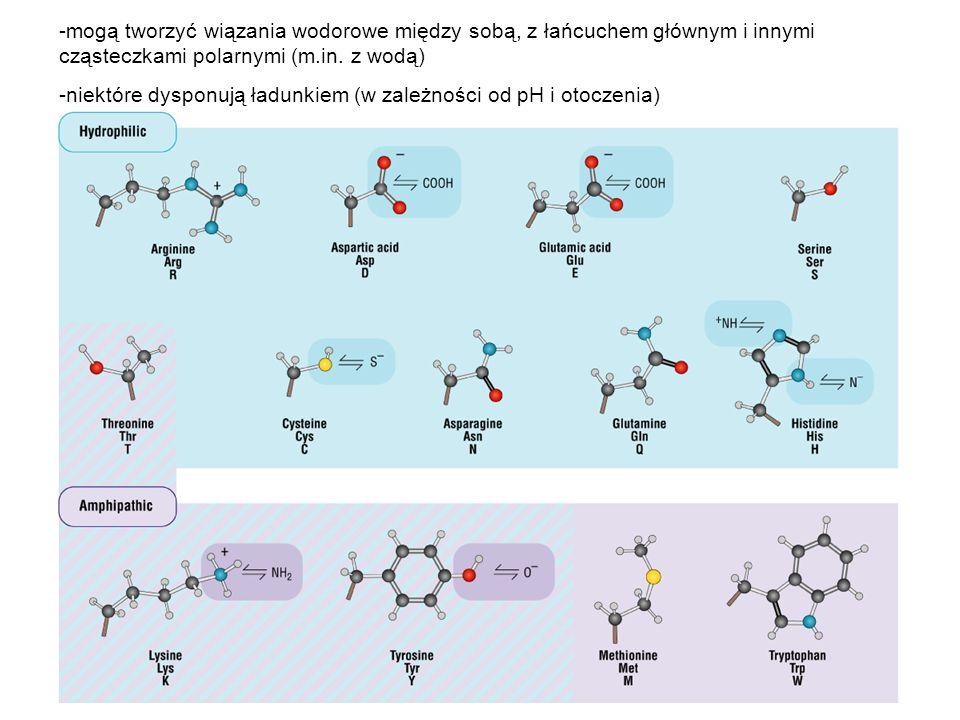 mogą tworzyć wiązania wodorowe między sobą, z łańcuchem głównym i innymi cząsteczkami polarnymi (m.in. z wodą)