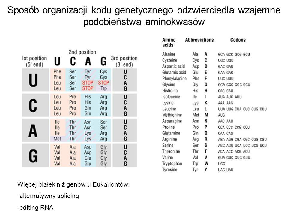 Sposób organizacji kodu genetycznego odzwierciedla wzajemne podobieństwa aminokwasów