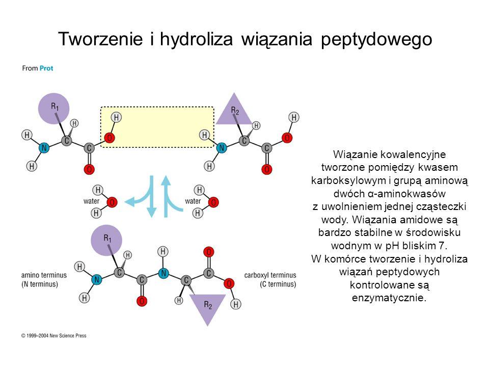 Tworzenie i hydroliza wiązania peptydowego