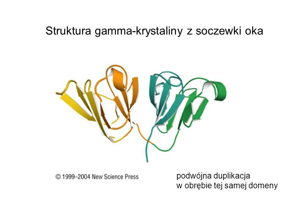 Struktura gamma-krystaliny z soczewki oka
