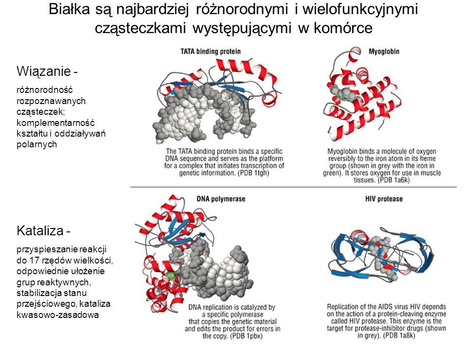 Białka są najbardziej różnorodnymi i wielofunkcyjnymi cząsteczkami występującymi w komórce