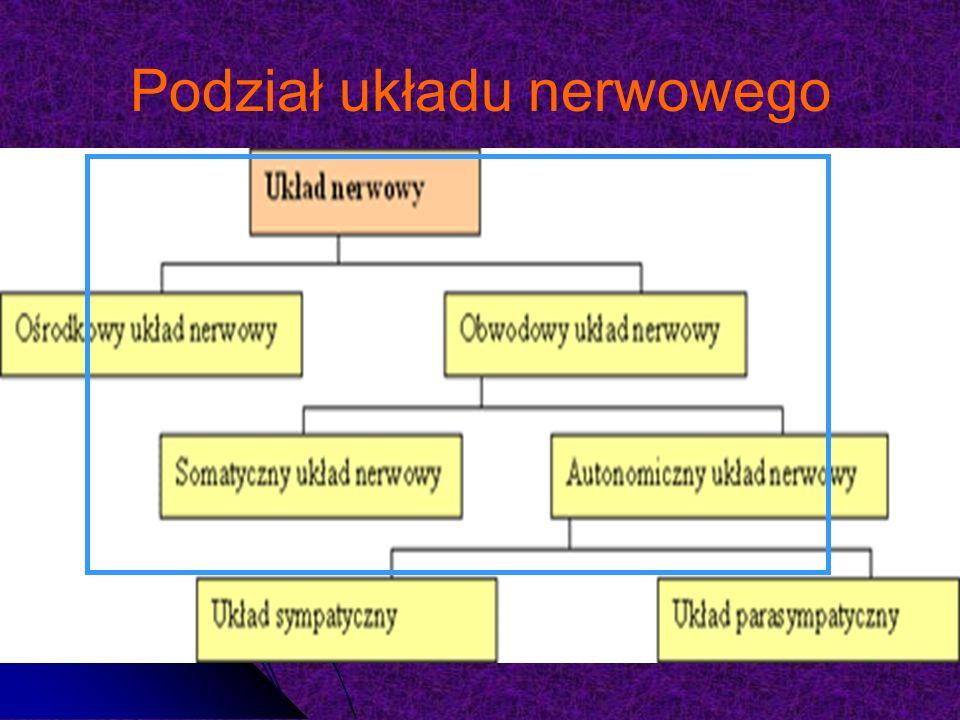 Podział układu nerwowego