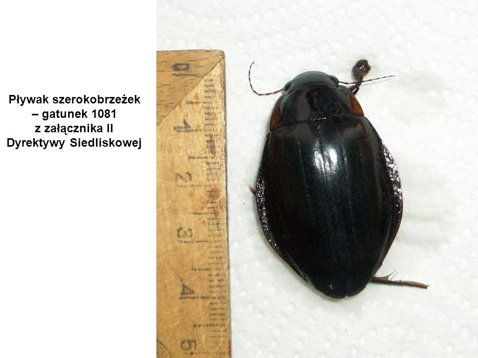 Pływak szerokobrzeżek – gatunek 1081 z załącznika II Dyrektywy Siedliskowej