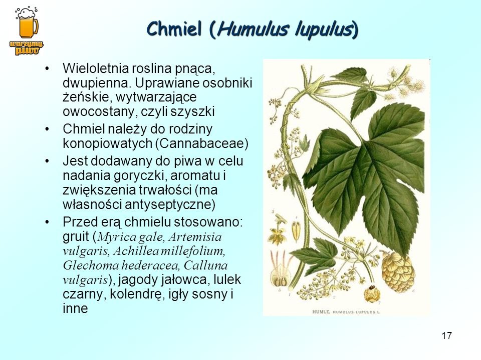 Chmiel (Humulus lupulus)