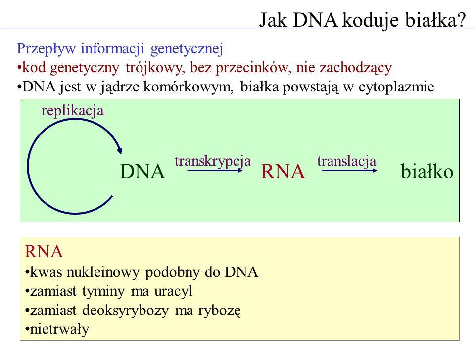 Jak DNA koduje białka DNA RNA białko RNA