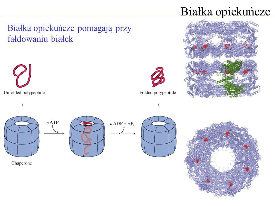 Białka opiekuńcze Białka opiekuńcze pomagają przy fałdowaniu białek