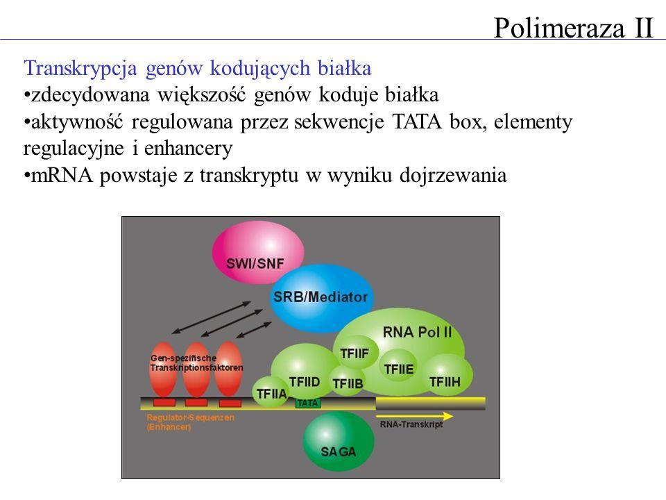 Polimeraza II Transkrypcja genów kodujących białka