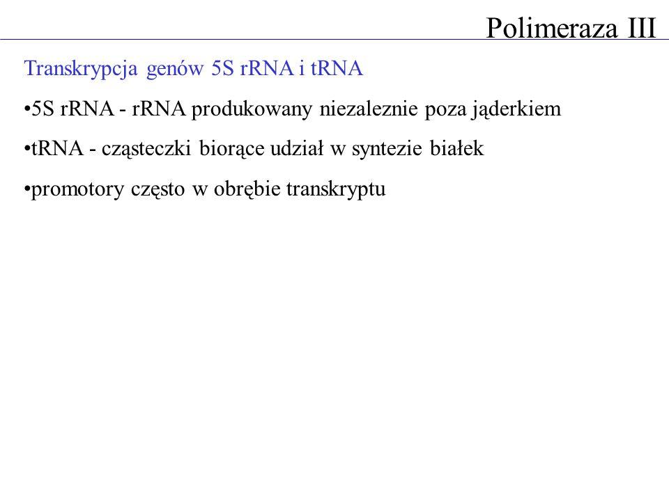 Polimeraza III Transkrypcja genów 5S rRNA i tRNA