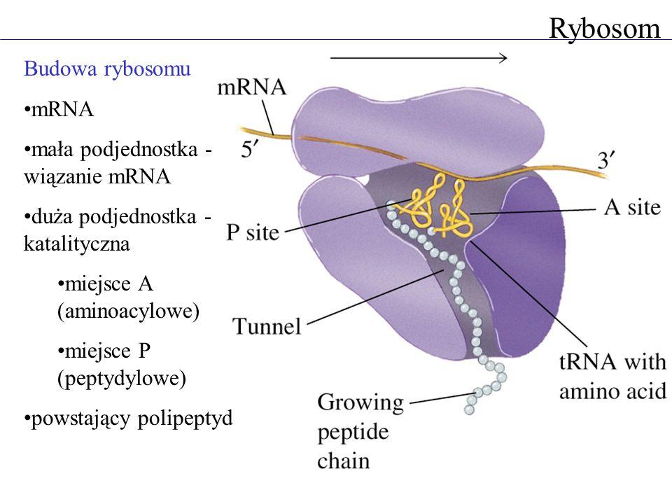 Rybosom Budowa rybosomu mRNA mała podjednostka - wiązanie mRNA