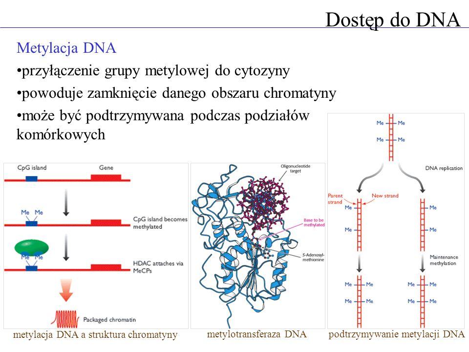 Dostęp do DNA Metylacja DNA przyłączenie grupy metylowej do cytozyny