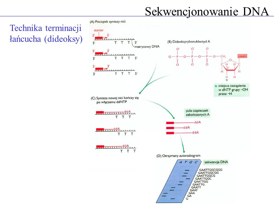 Sekwencjonowanie DNA Technika terminacji łańcucha (dideoksy)
