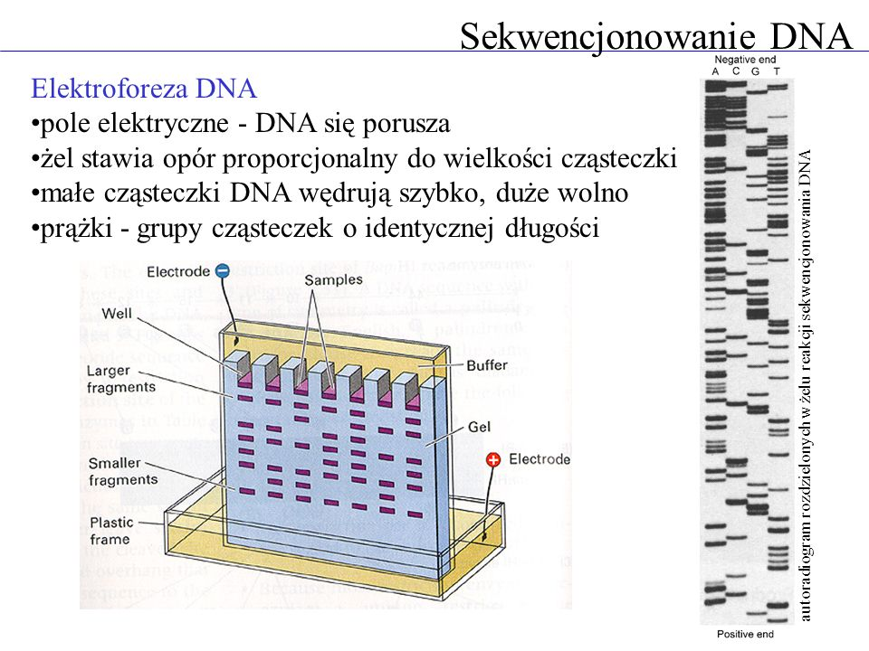 Sekwencjonowanie DNA Elektroforeza DNA