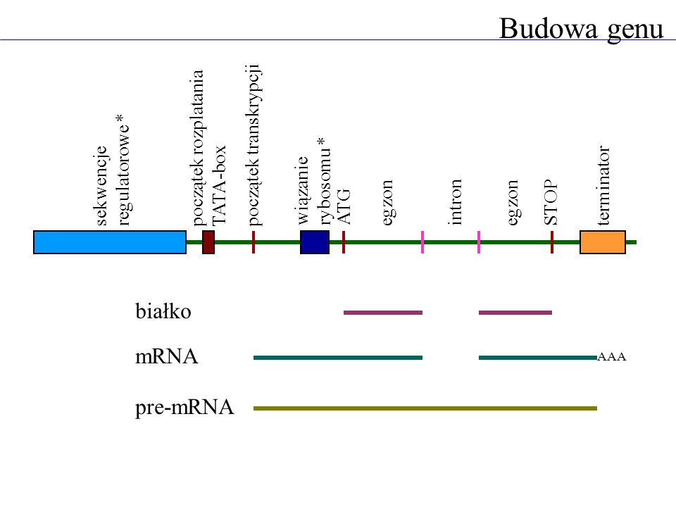 Budowa genu białko mRNA pre-mRNA początek rozplatania TATA-box