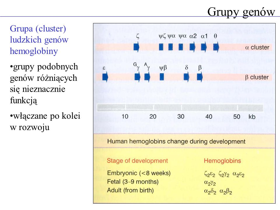 Grupy genów Grupa (cluster) ludzkich genów hemoglobiny