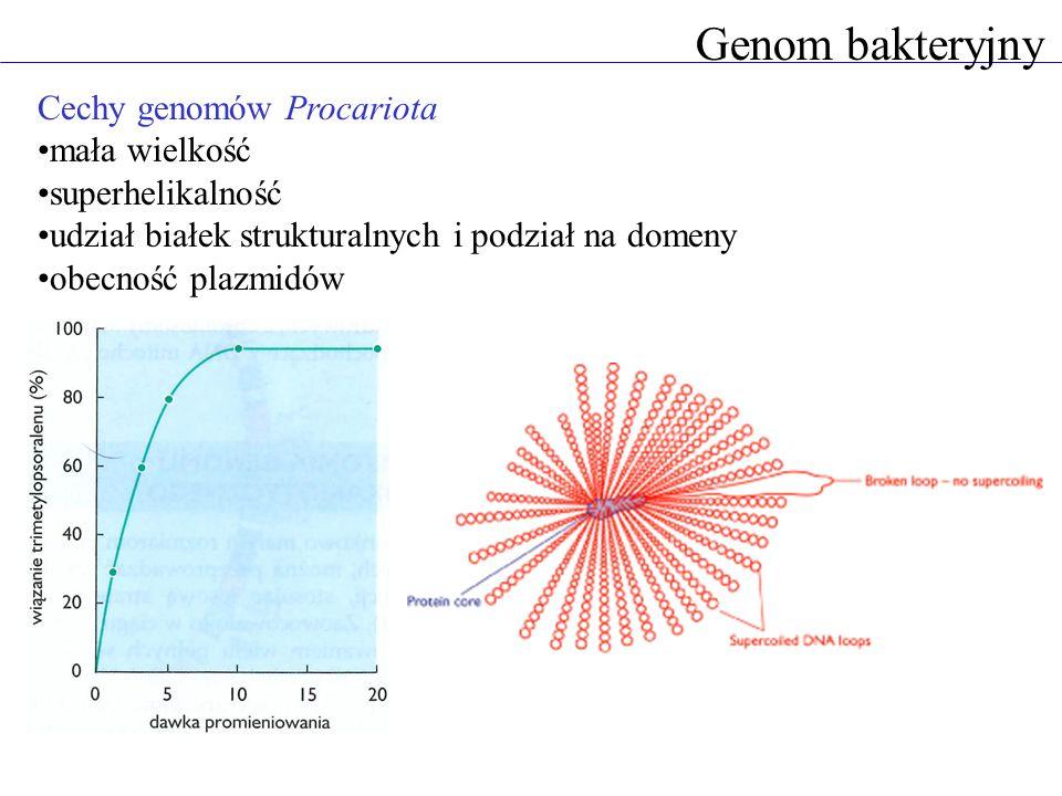 Genom bakteryjny Cechy genomów Procariota mała wielkość