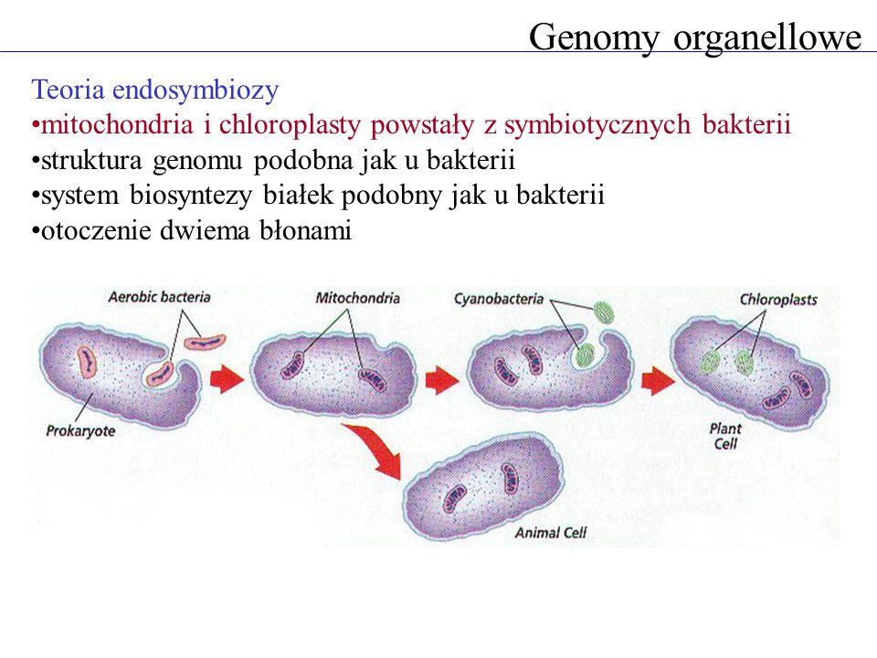 Genomy organellowe Teoria endosymbiozy
