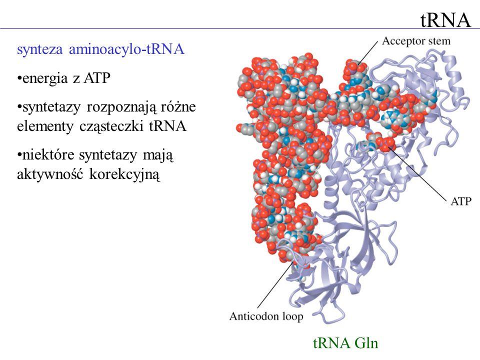tRNA synteza aminoacylo-tRNA energia z ATP