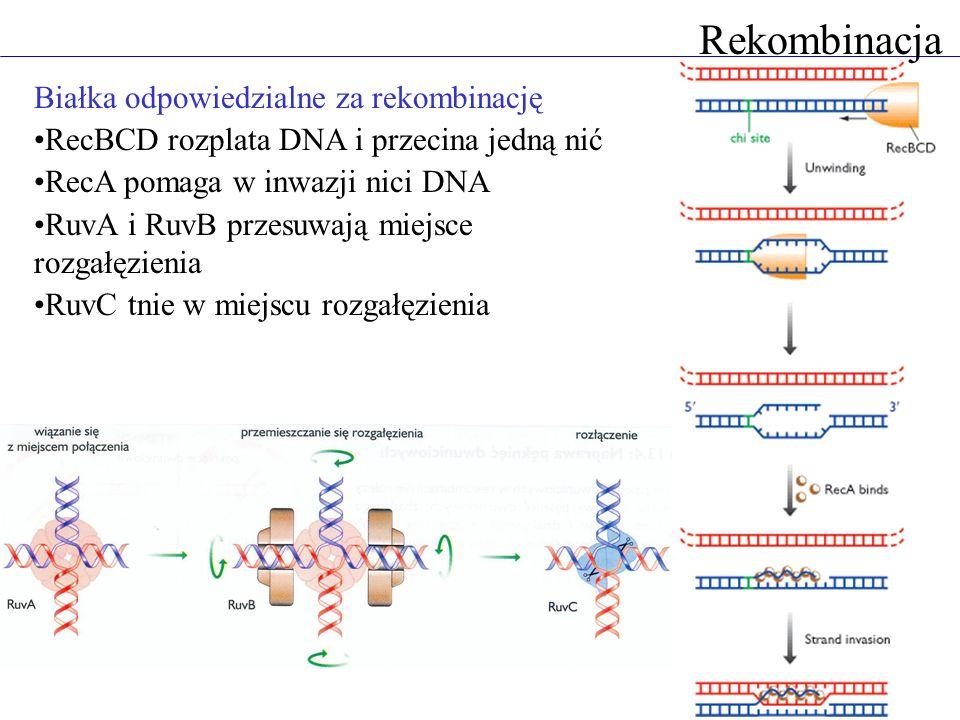 Rekombinacja Białka odpowiedzialne za rekombinację
