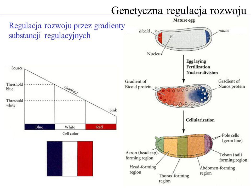 Genetyczna regulacja rozwoju