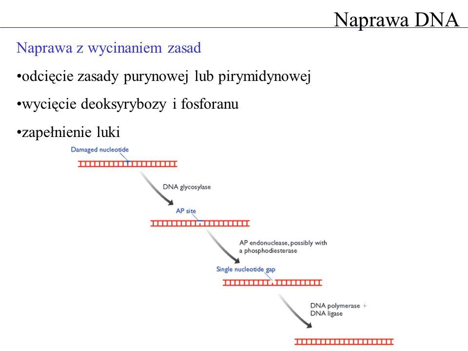 Naprawa DNA Naprawa z wycinaniem zasad