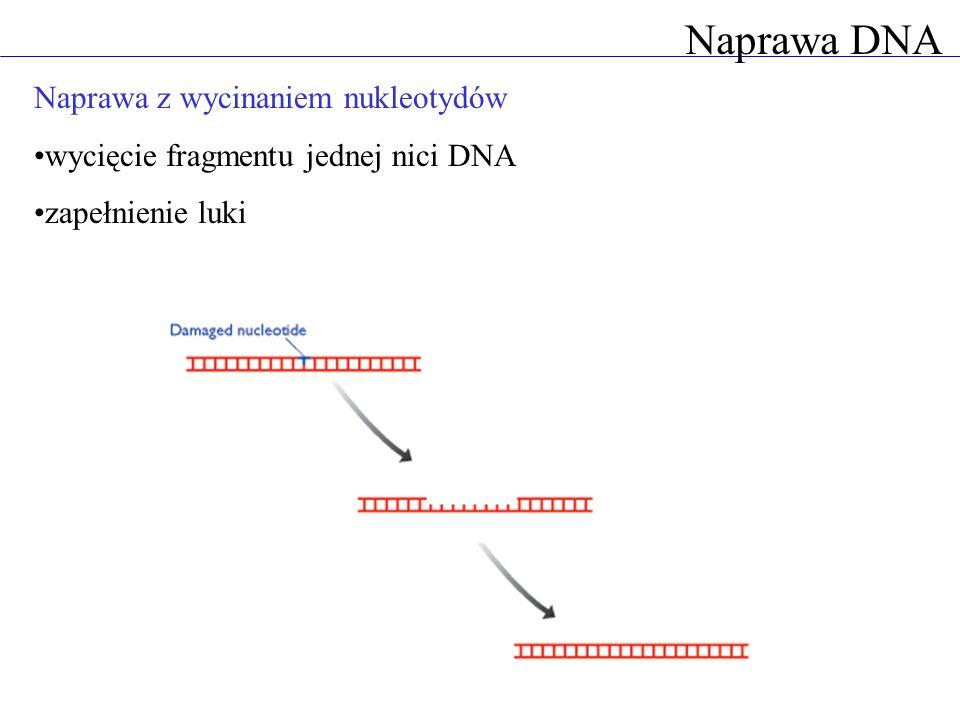 Naprawa DNA Naprawa z wycinaniem nukleotydów