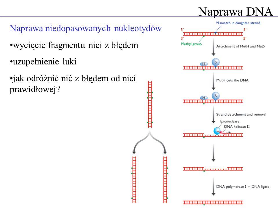 Naprawa DNA Naprawa niedopasowanych nukleotydów