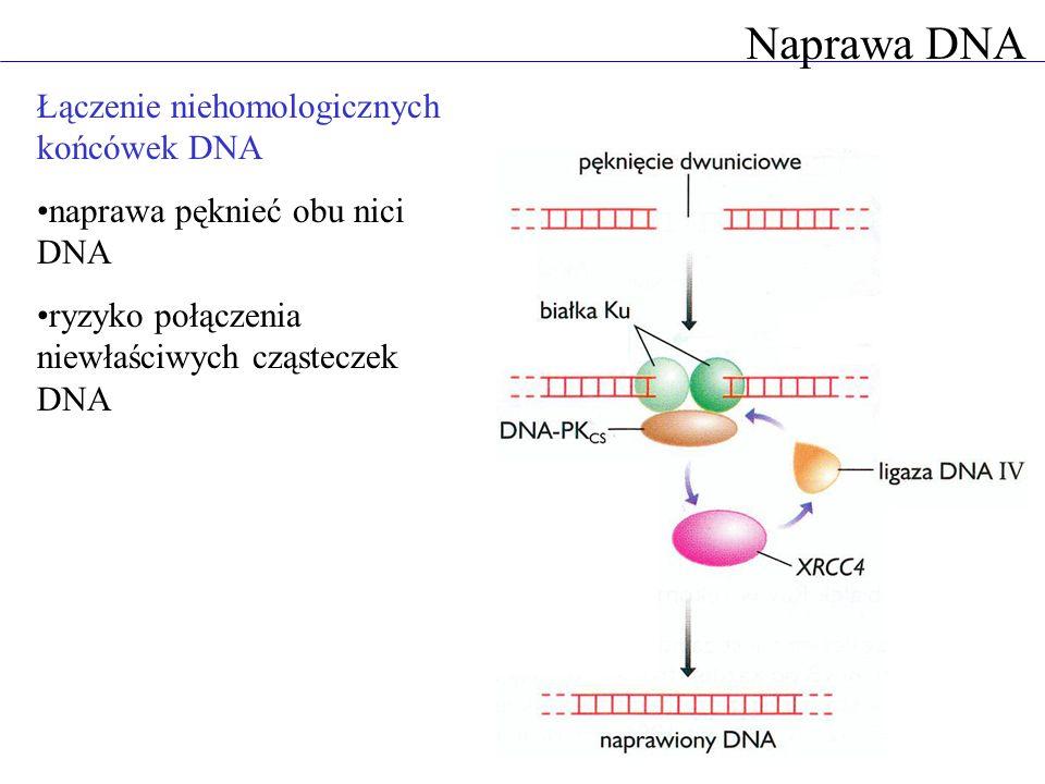 Naprawa DNA Łączenie niehomologicznych końcówek DNA