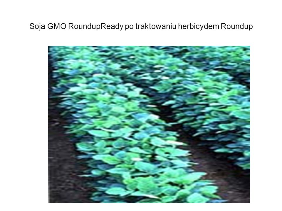 Soja GMO RoundupReady po traktowaniu herbicydem Roundup