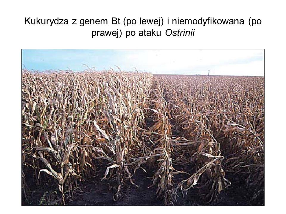 Kukurydza z genem Bt (po lewej) i niemodyfikowana (po prawej) po ataku Ostrinii